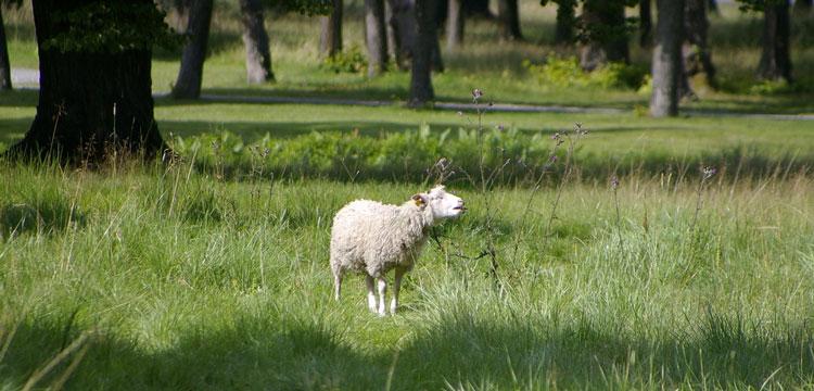 овца Швеция