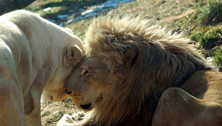 львы обнимаются