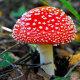 Мухомор красный ядовитый гриб