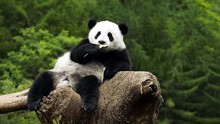 фото милой панды