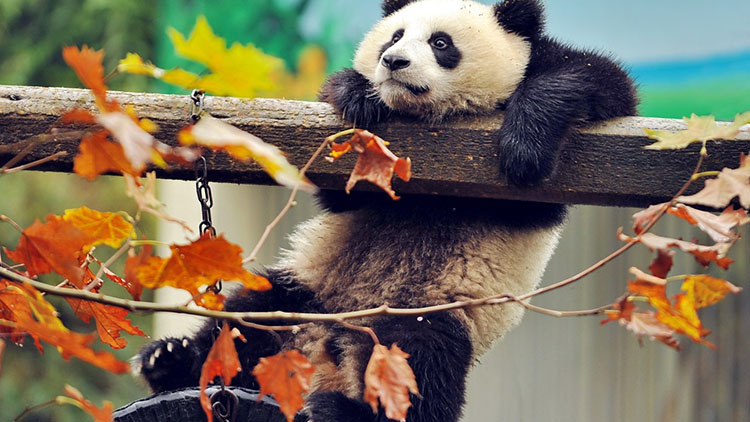 панда картинки