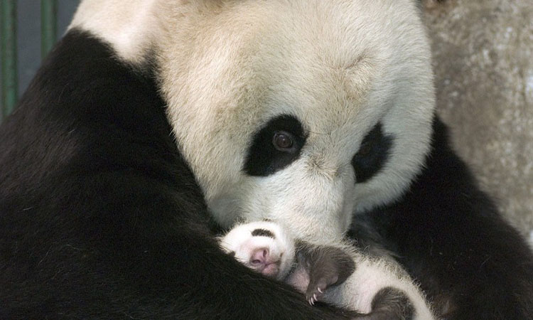 Панда фото картинки