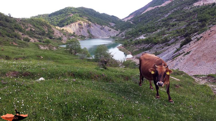 пасутся коровы