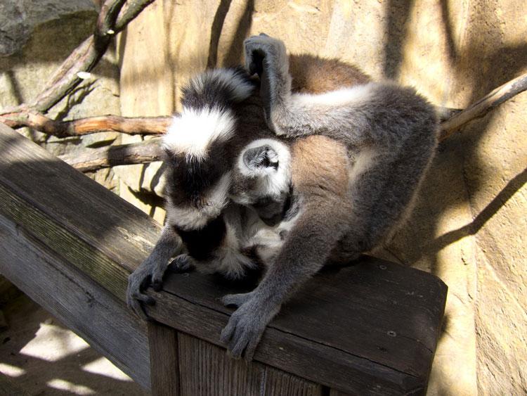 Скансен зоопарк обезьяна