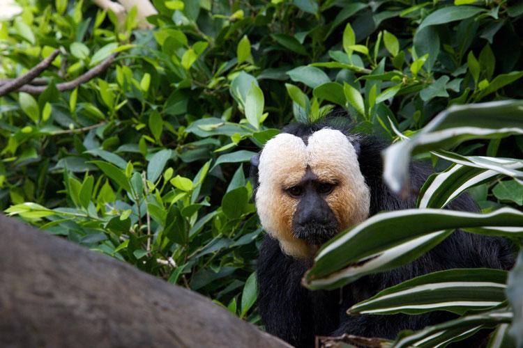 Стокгольм Скансен зоопарк обезьяна