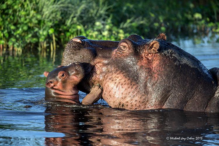бегемот и детёныш