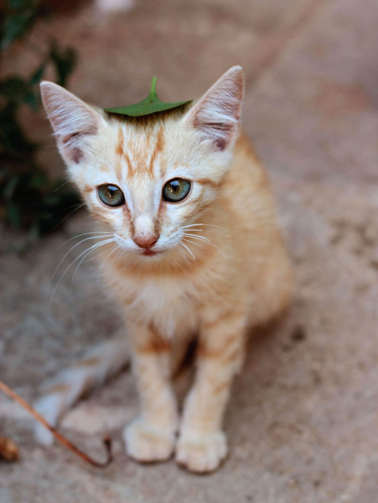 испанский кот