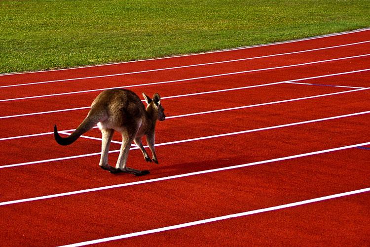 кенгуру фото