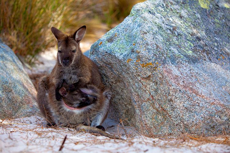 кенгуру и детёныш