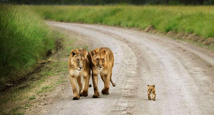 львицы и детёныш