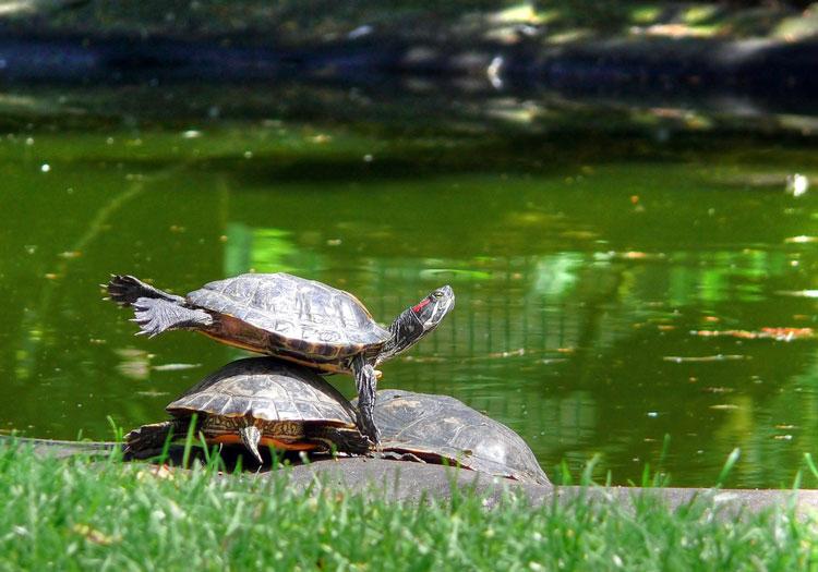 маленькие черепахи