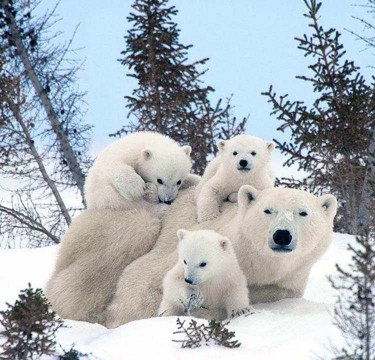 медведица с детьми
