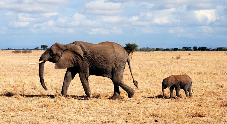слон детёныш