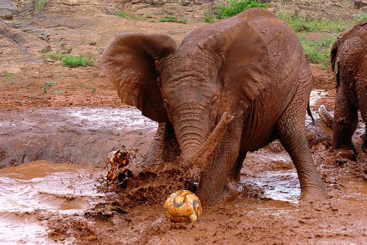 слон играет