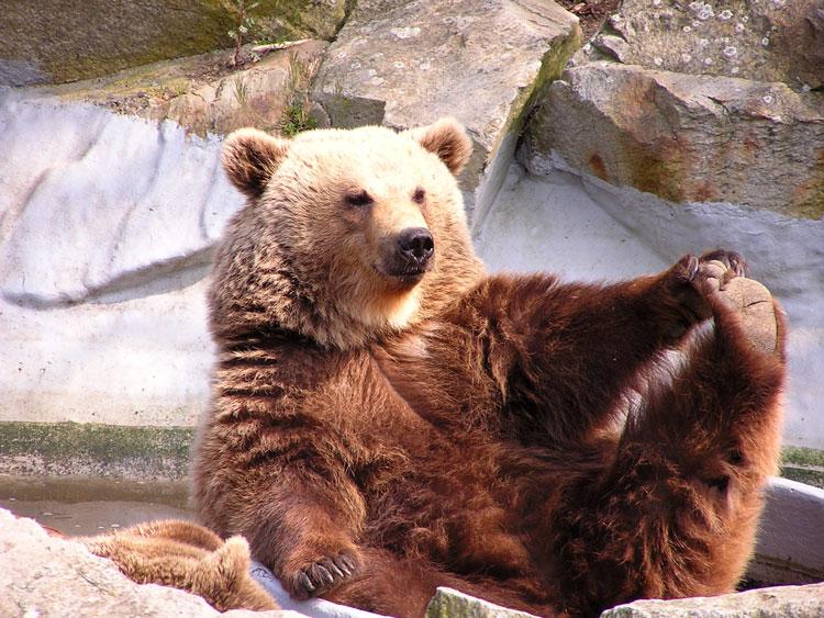 смешной медведь