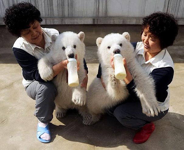 белые медвежата фото