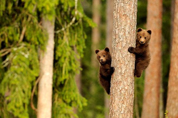два медвежонка картинки