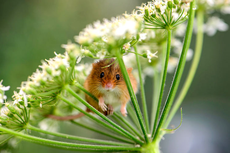 фото лесной мыши