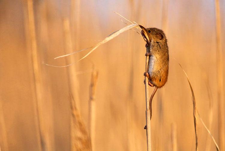 фото мыши полевой
