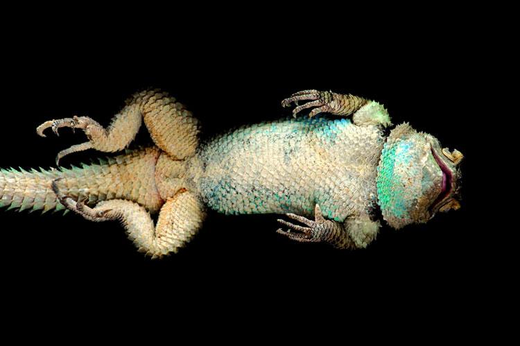 игуана фото