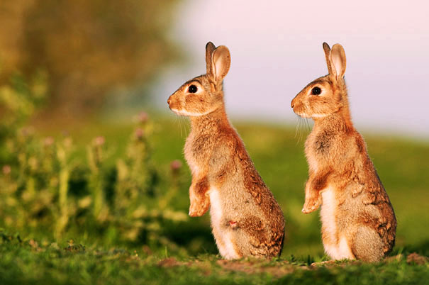 картинки зайцев двух