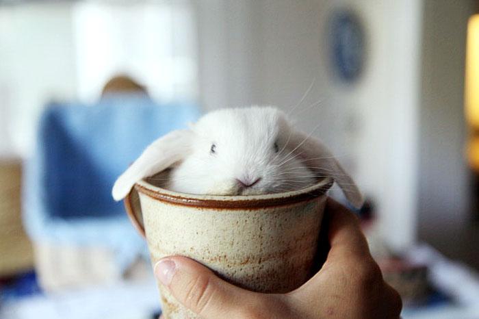 кролик в чашке