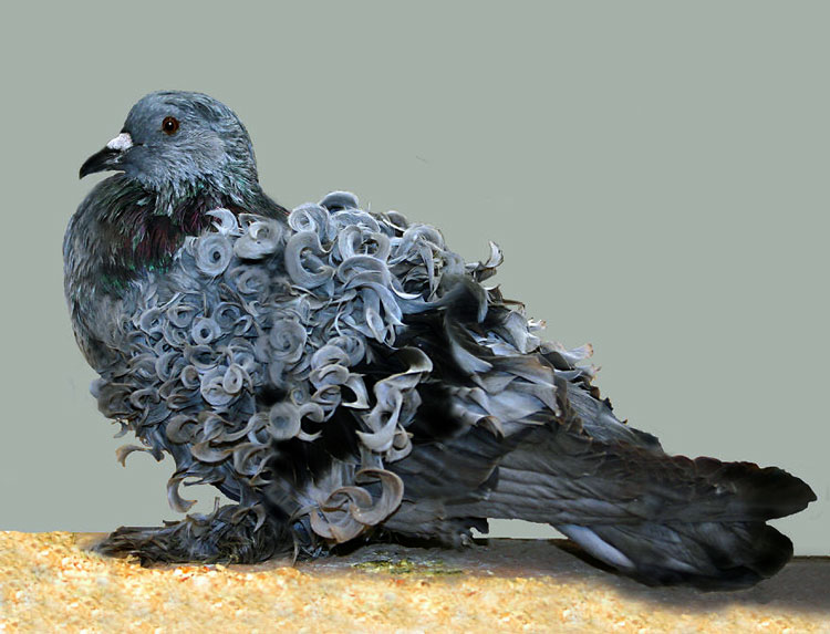 лохматый голубь