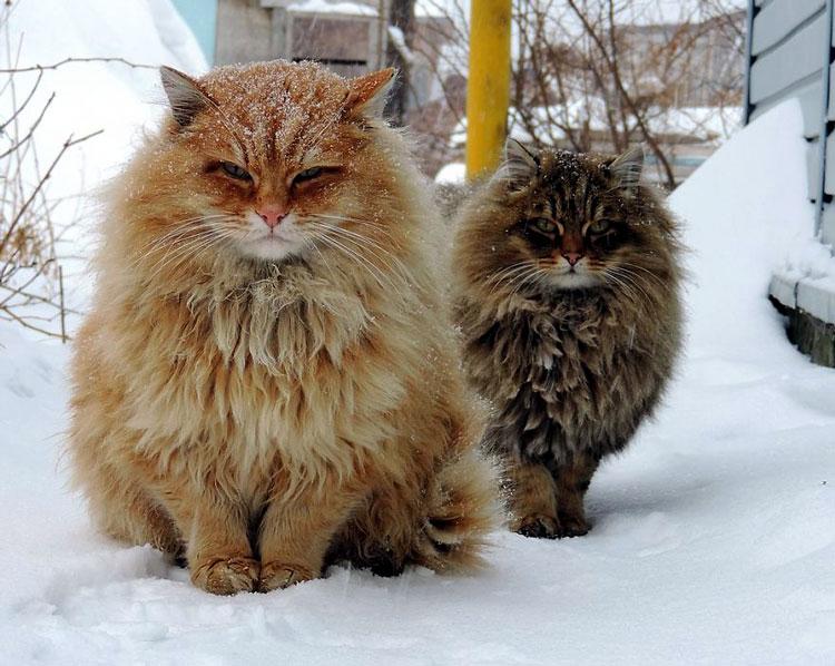 лохматый кот
