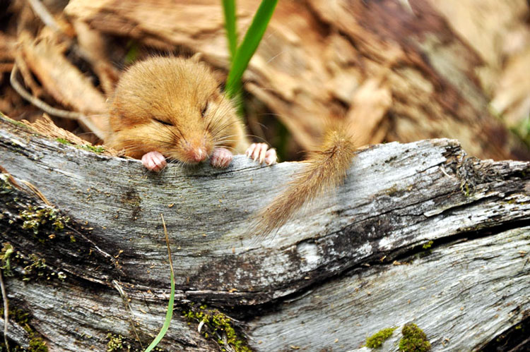 мышь грызун