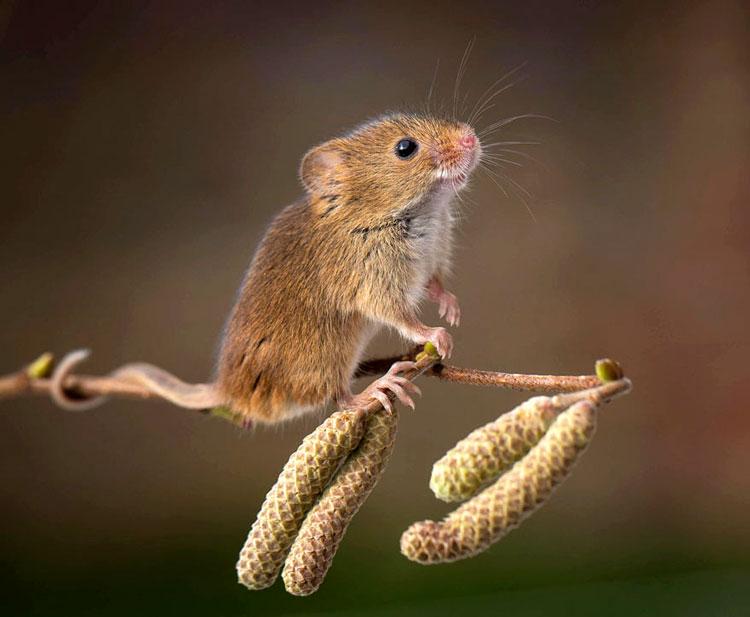 Мышь млекопитающее животное забавная