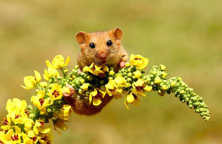 мышь полевая фото