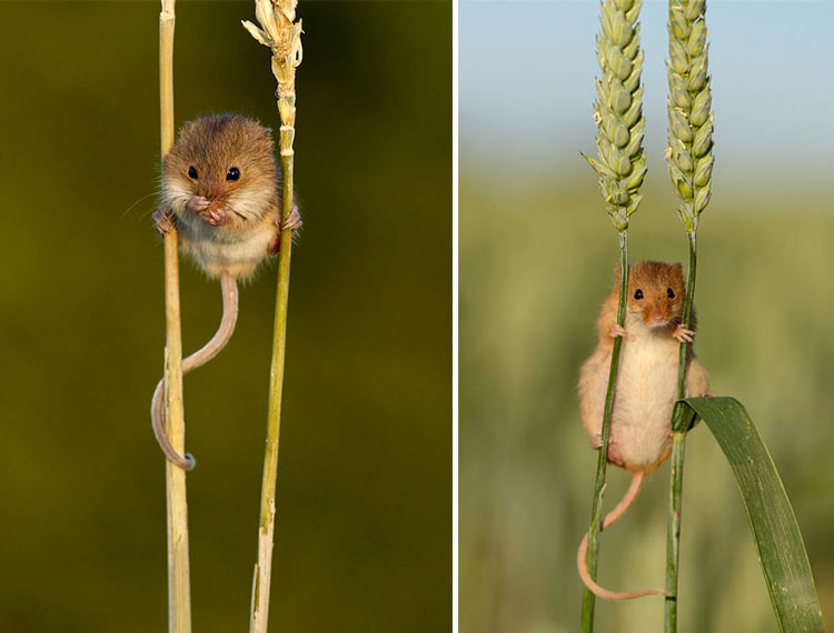 мышь полёвка фото