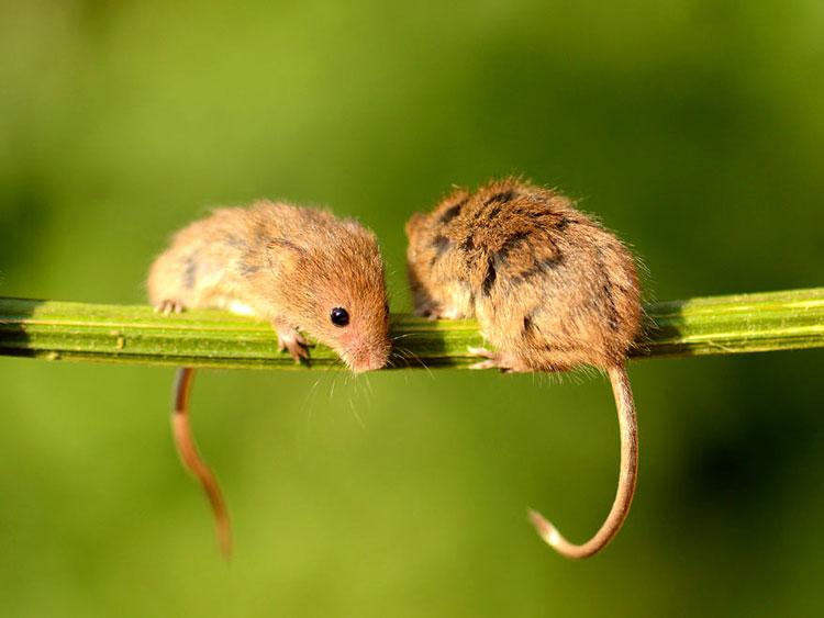мышка мышь
