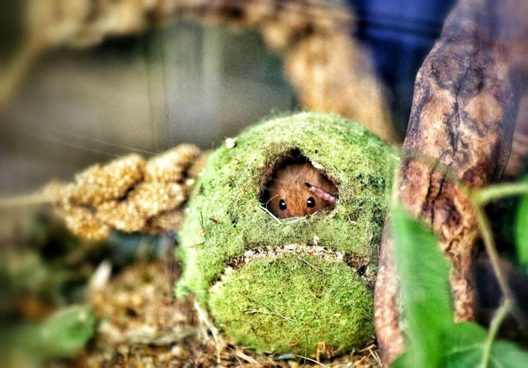 мышка живая фото