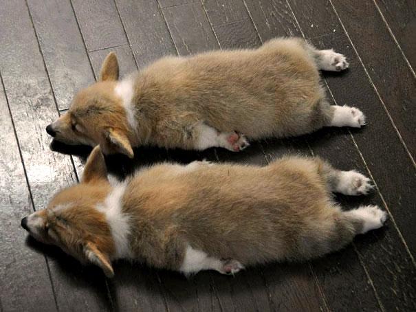 одинаковые собаки