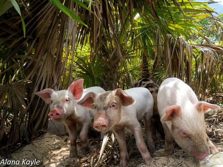 остров свиней багамы