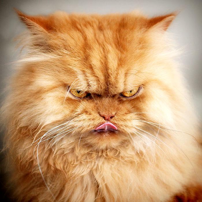 самый сердитый кот фото