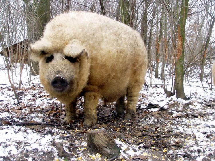 шерсть свинья