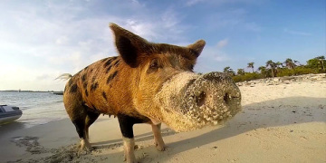 смешная свинья