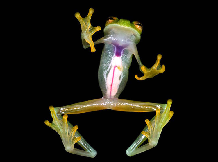 стеклянные лягушки
