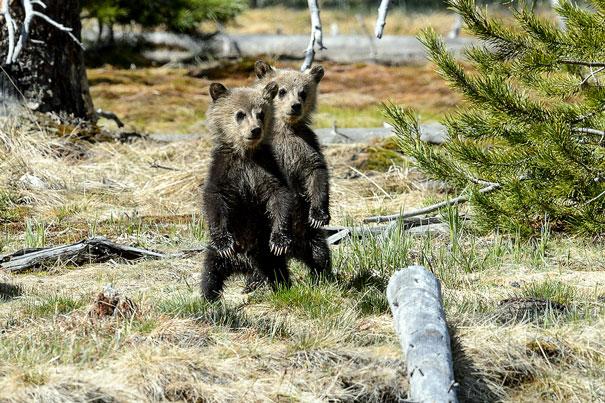 весёлые медвежата