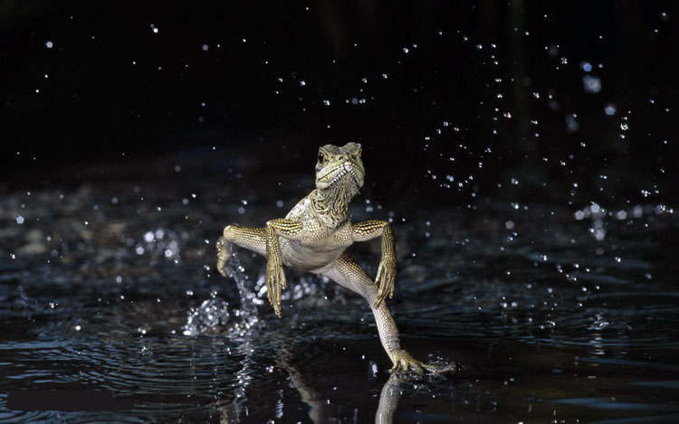 ящерица по воде