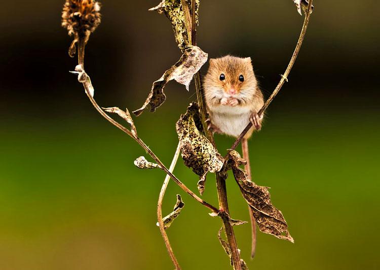 живая мышка