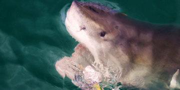 картинки белой акулы