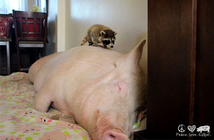 декоративные свиньи