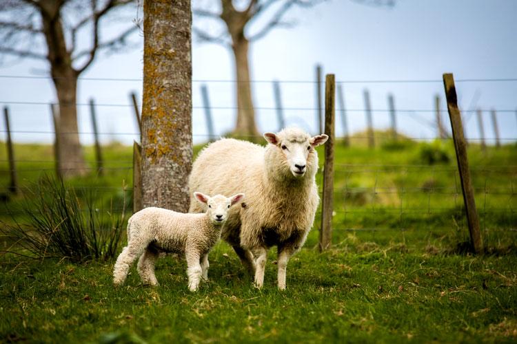 детёныш овцы и барана