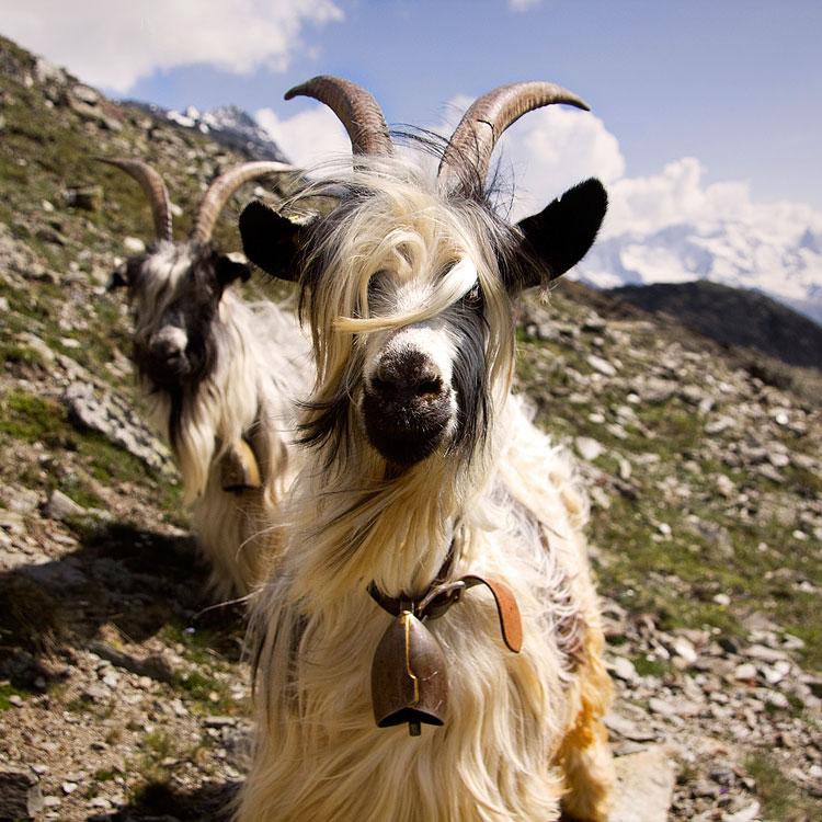 домашнее животное коза