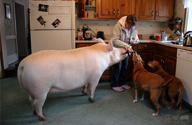 домашняя свинья эстер