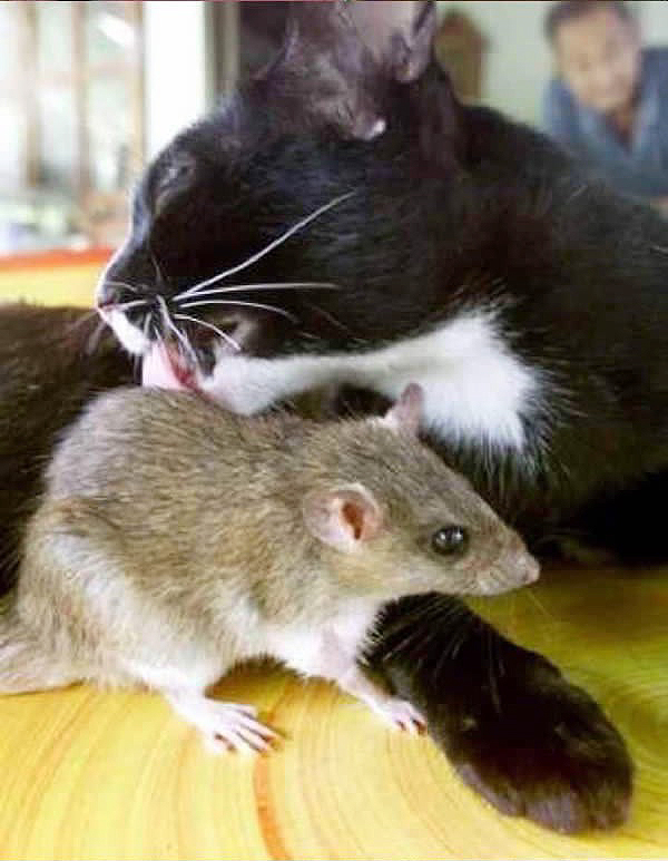 фото мыши и кошки