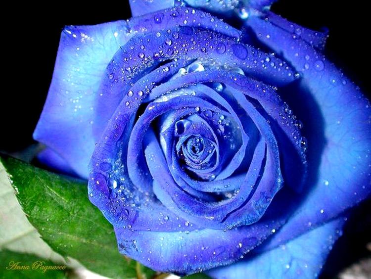фото голубой розы